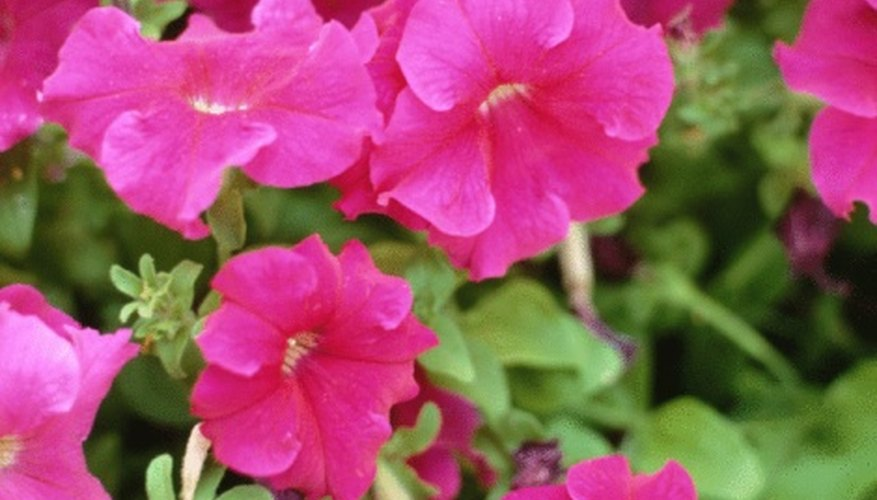 Petunias are an ideal flowering potted plant for a balcony.