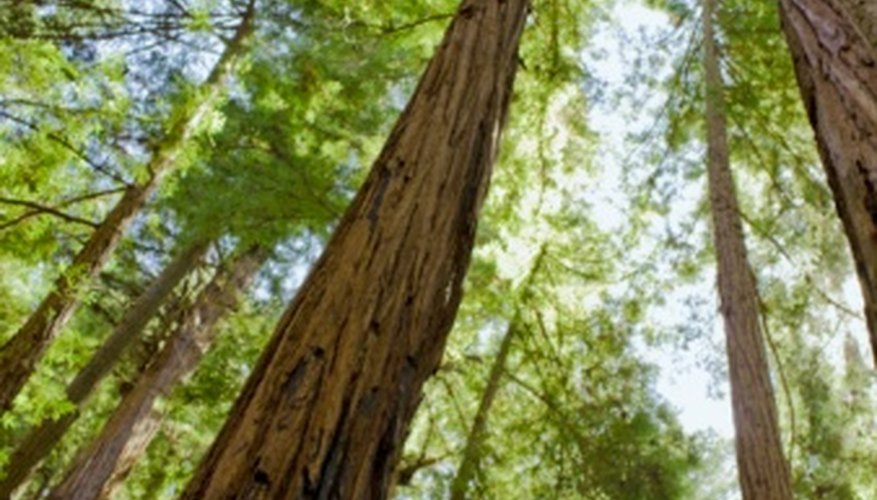 The redwood forests in California tower toward the sky.