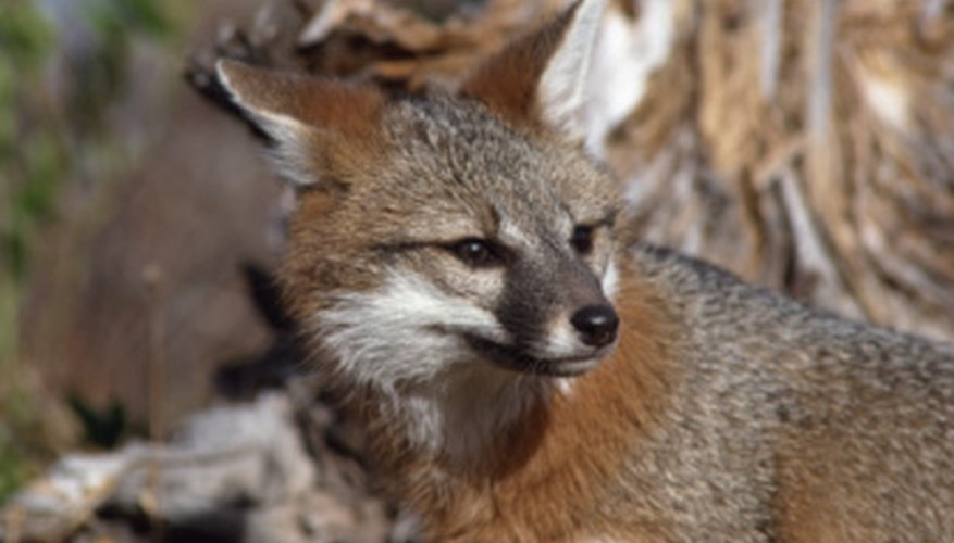 The gray fox can descend a tree headfirst or tail first.