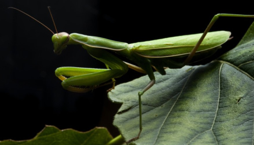 Praying mantids join their front legs in preparation for an attack.