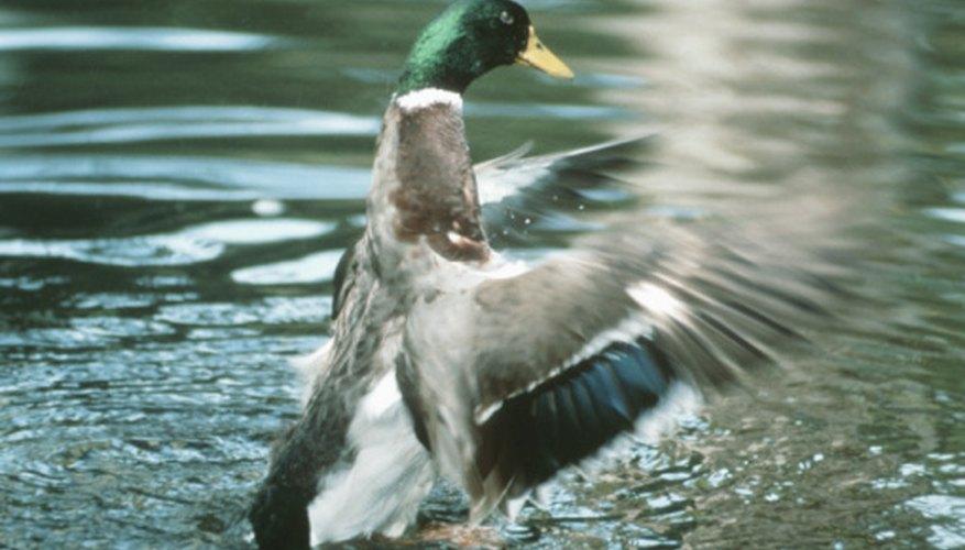The mallard is a freshwater duck.