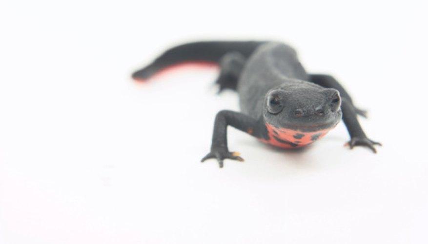 Un tritón de vientre de fuego maduro tiene unas 3 pulgadas (7,5 cm) de longitud.