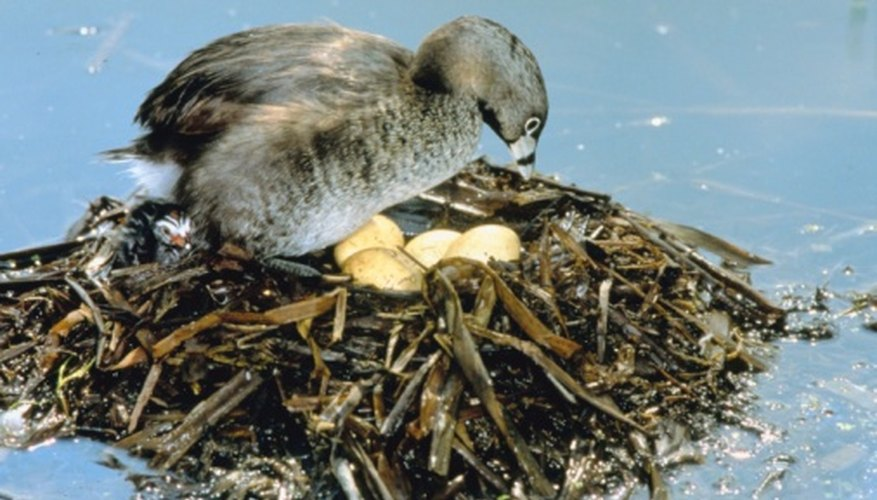 The pied-billed grebe is a wetlands bird native to Florida.