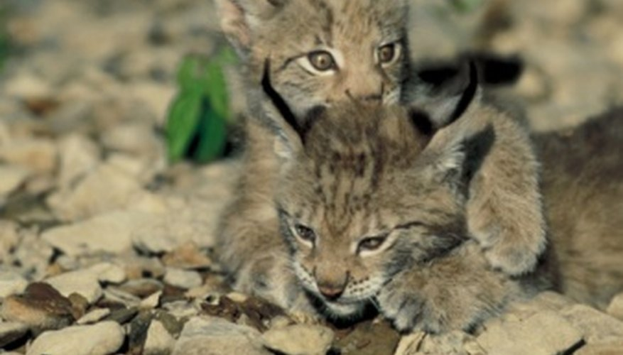 Most bobcat types are not considered endangered.