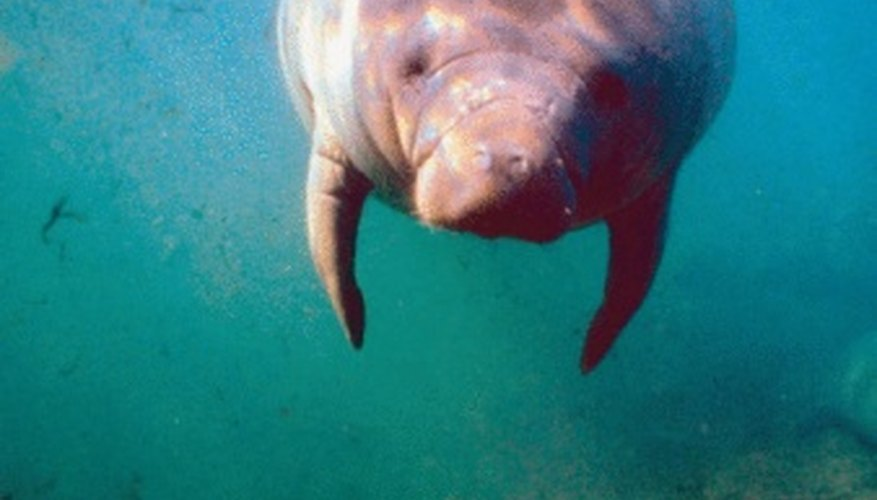 Manatees never leave the water.