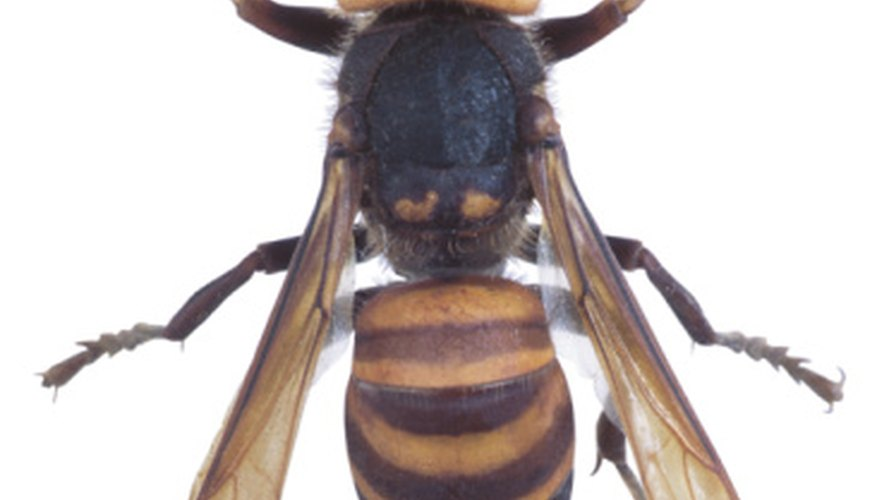 European hornets become pests in late summer and early fall.