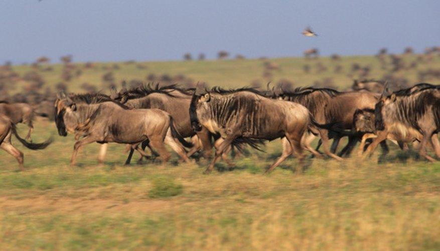 Primary consumers such as wildebeests roam the savannas.