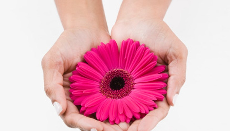 Bright and colorful, Gerber daisies are popular cut flowers.