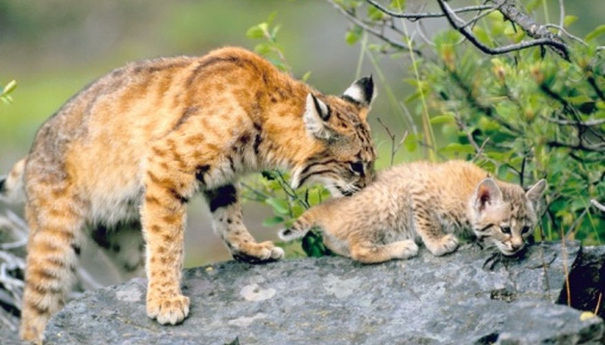 Only the mother takes care of bobcat kittens.