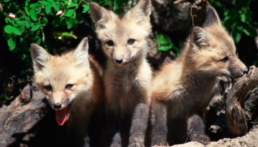 Many foxes live in underground burrows, though these are often called dens.