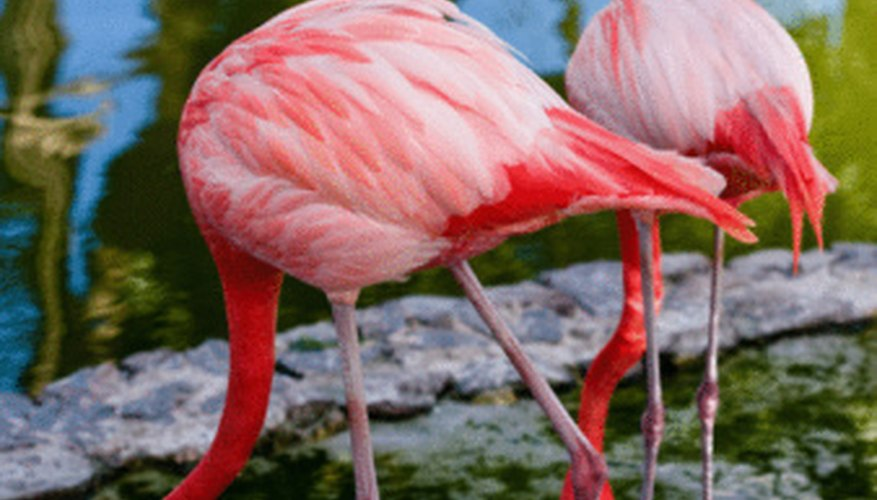 Pink flamingos gain their color by eating cyanobacteria, which produces a red pigment.