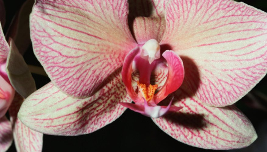 Phalaenopsis orchids feature large, flat blooms.