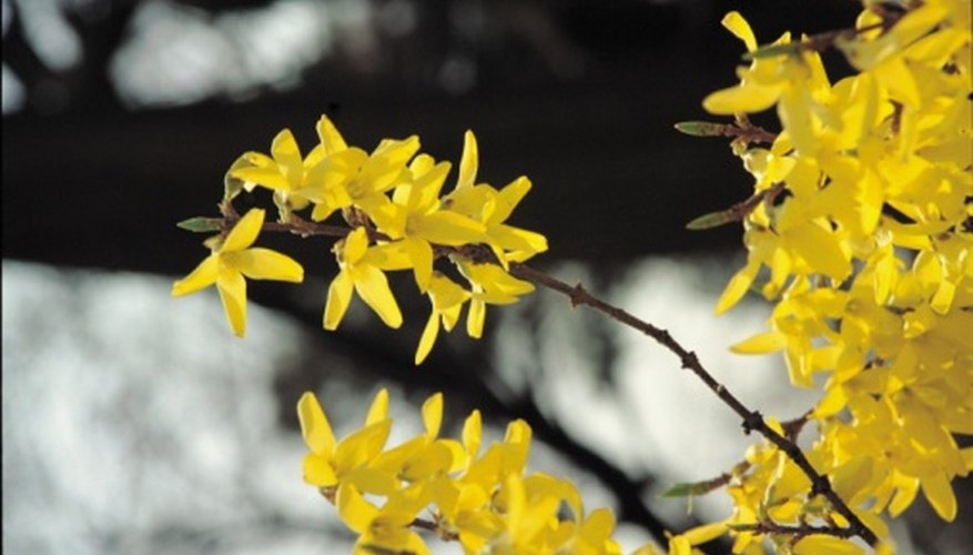 Forsythia blooms are a good rule-of-thumb for early spring mulching.