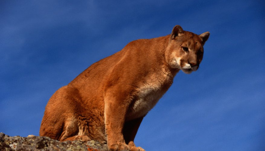 Cougars are solitary creatures.