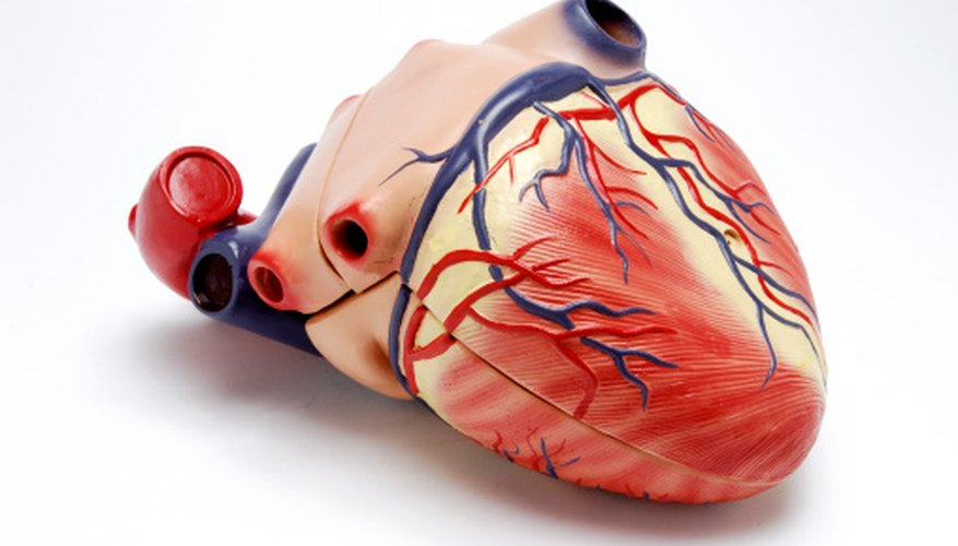 The heart is the motor of the circulatory system, delivering oxygen to the body.