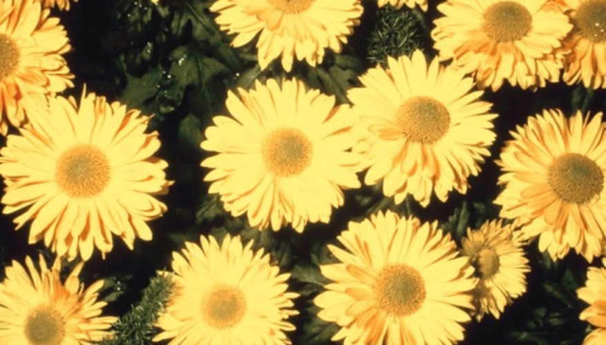 Daisy chrysanthemums resemble common daisies.