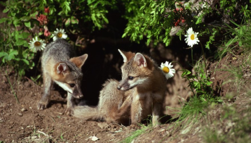 Gray fox pups play to develop their hunting skills.