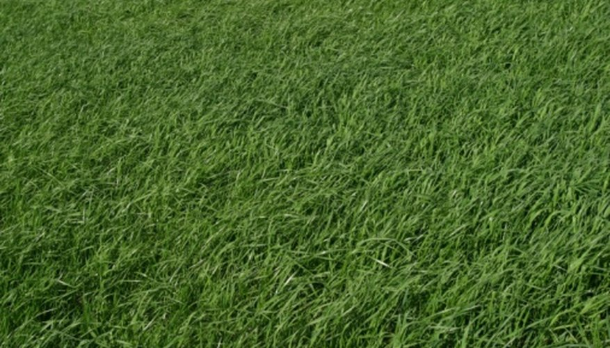 Zorro zoysia is a hybrid form of zoysia that may be grown throughout the south.