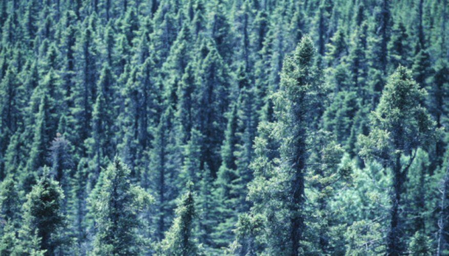 Taiga forests are dominated by evergreen trees.