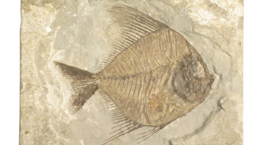Fish fossils are often carbon film.