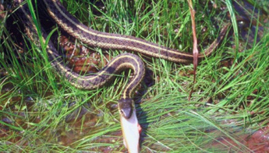 Many of northern Louisiana's live-birth snakes enjoy wet habitats.