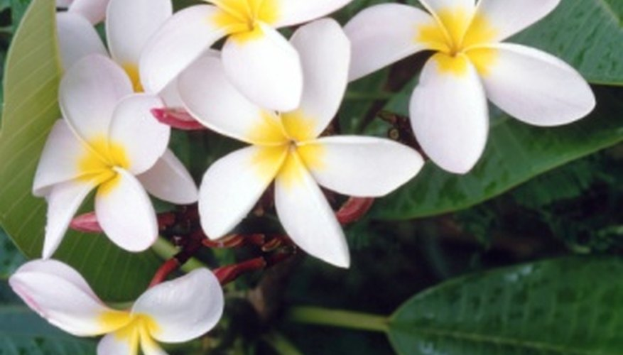 A cluster of frangipani flowers in full bloom.