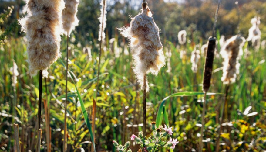 Control cattail pond weeds the old-fashioned way, naturally and organically.