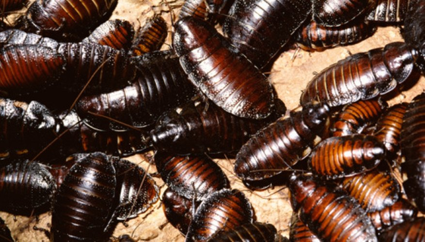 Cockroaches shed their external skeletons several times each year.