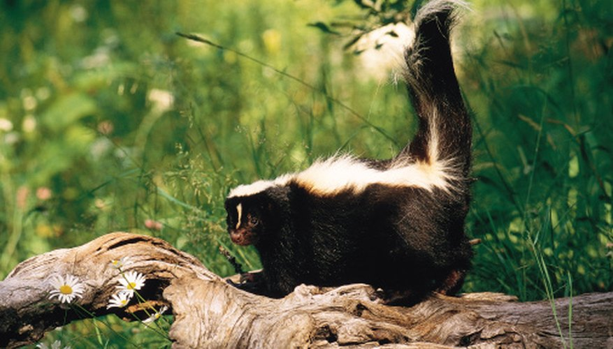 Skunks and raccoons can carry rabies.