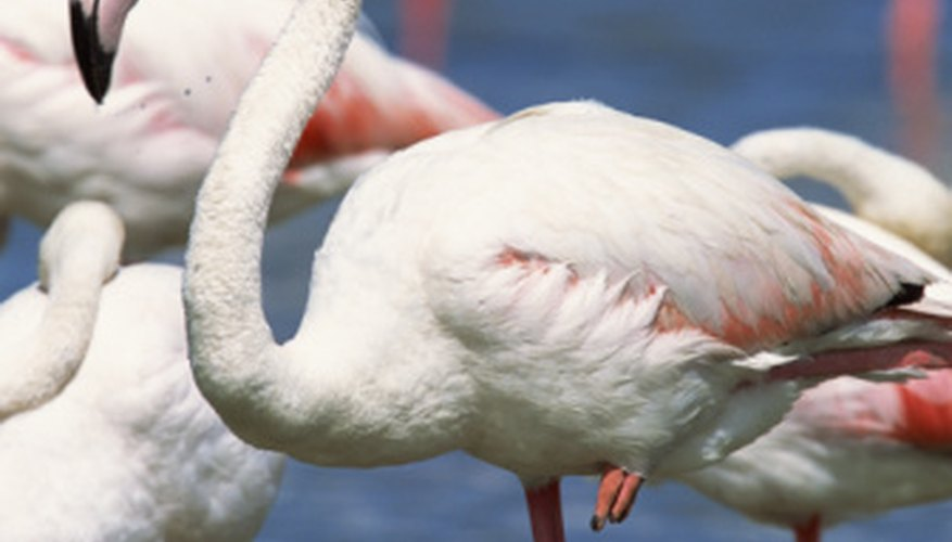 Greater flamingoes are the world's most widespread flamingo species.