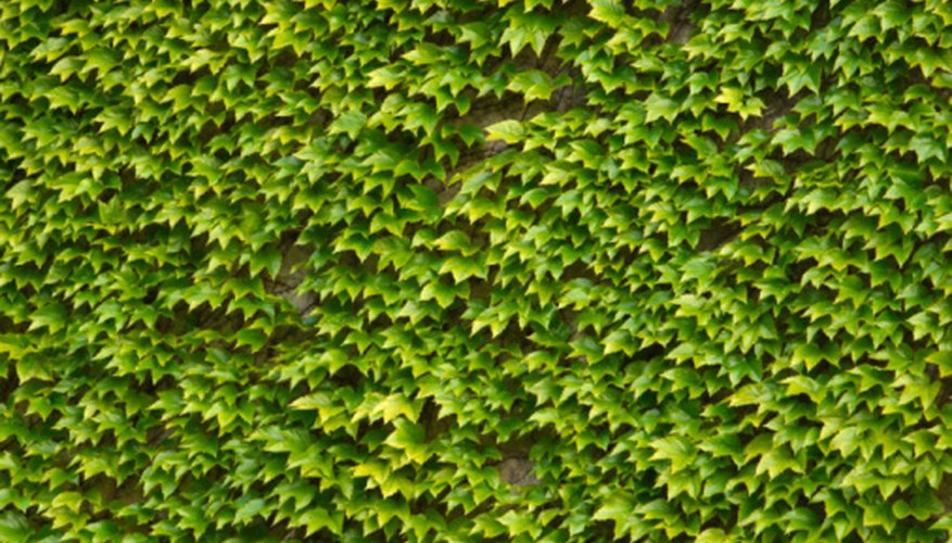Boxwood hedge options exist that don't have the traditional scent.
