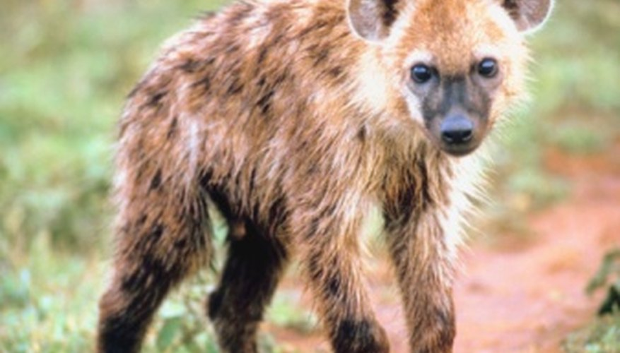 The hyena is one of the antelope's most infamous hunters.