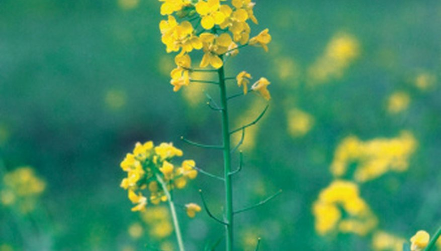 Wild mustard weed causes low crop yield and damage to livestock.