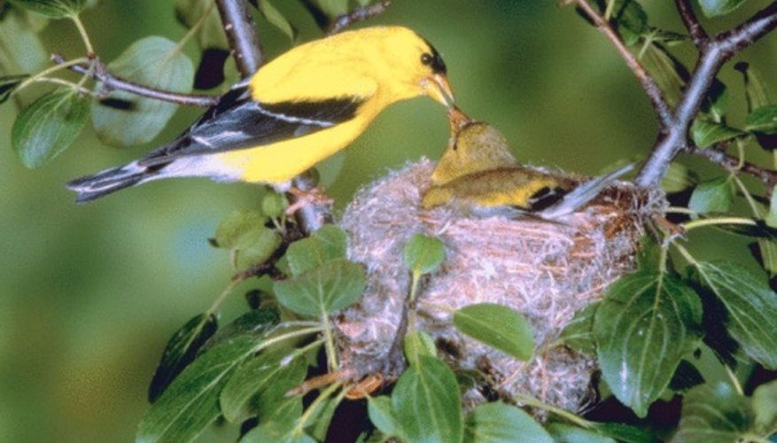 The American goldfinch is native to Northern California's forests.