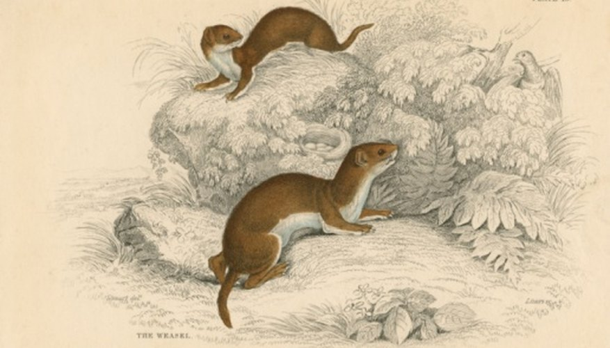 There are 56 species of Mustelids found all over the world.