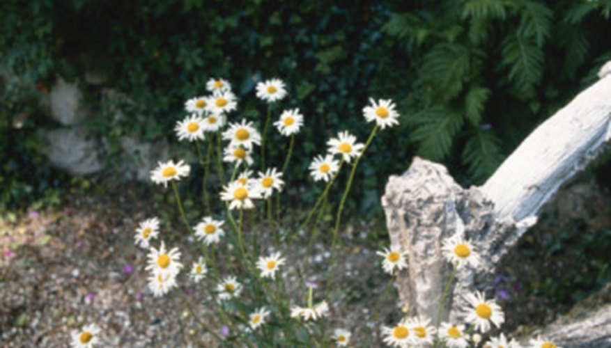 Ox-eye daisies will take root in less-than-perfect soil.
