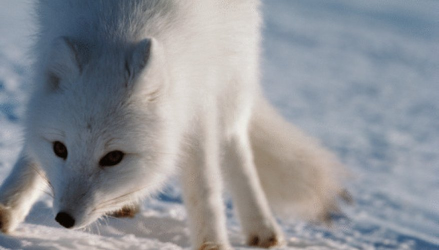 The arctic fox will eat berries if there is a lack of meat.