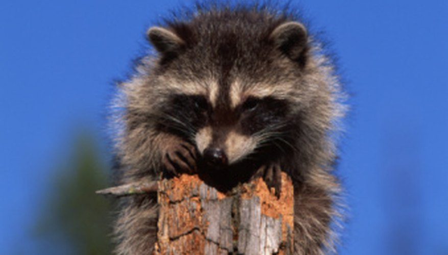 Raccoons like to live near ponds.