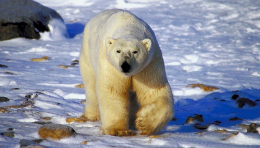 Polar bears are one of the forty-eight species of land mammals found in the polar tundra.