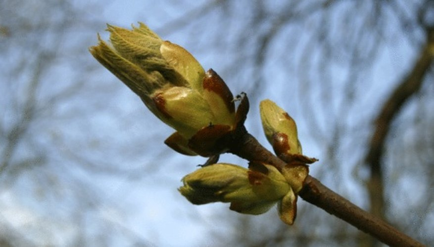 Use the buds on a maple tree to identify its species.