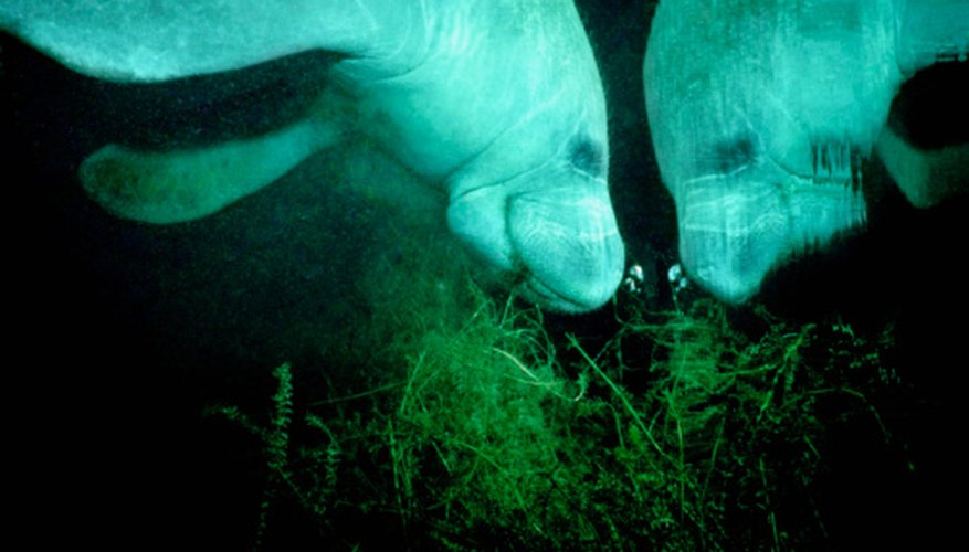 Manatees are the only vegetarian marine mammals.
