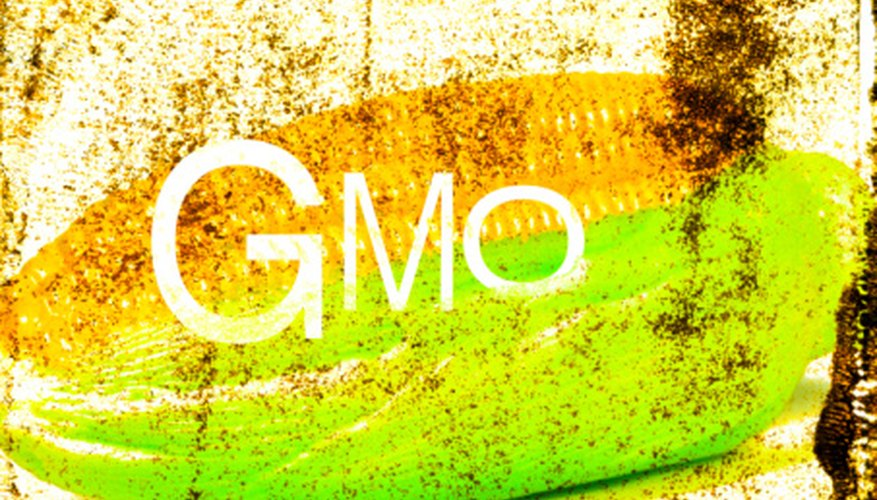 Most corn produced is genetically modified.