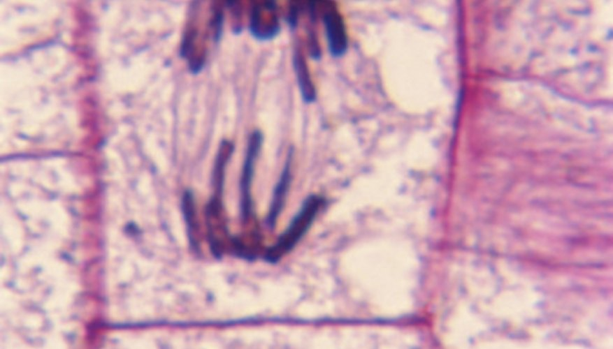 Plant cells are surrounded by a thick wall that requires an extra step in cytokinesis.