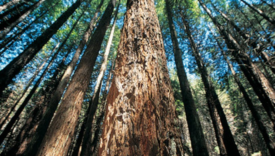 Redwood trees move a huge volume of water from roots to leaves.