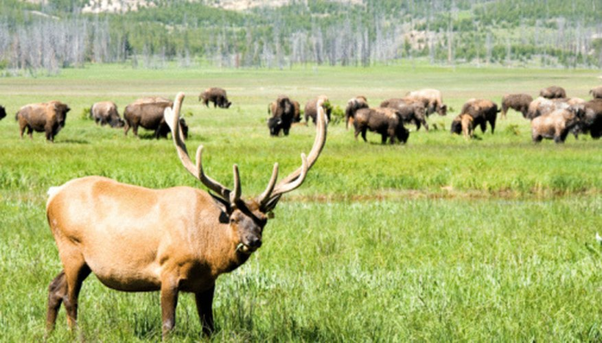 Elk and bison are native to North Dakota.