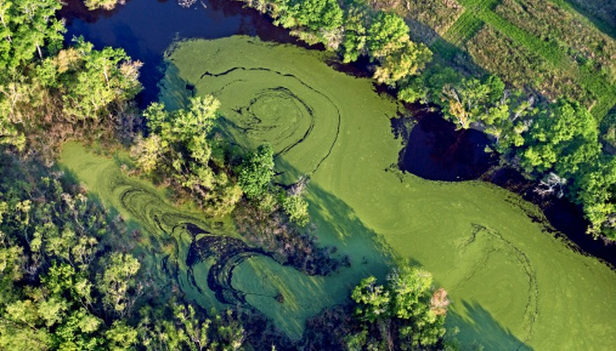 Algae provides oxygen and food for thousands of forms of aquatic life.