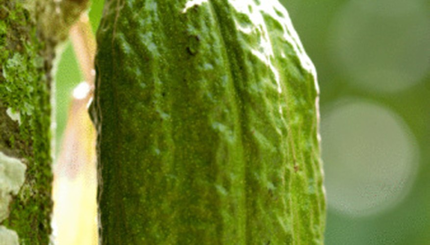 Cocoa beans grow in pods on the trunks of cacao trees.