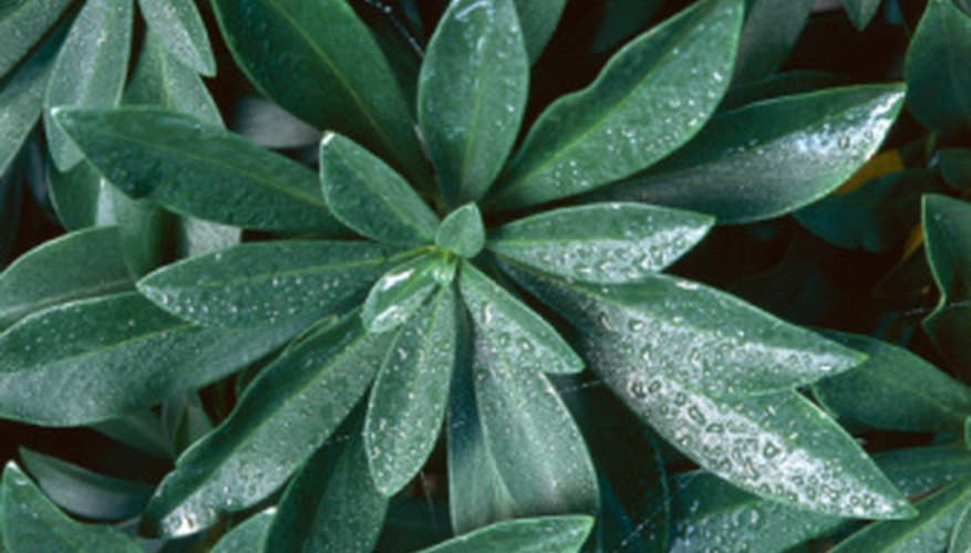 Spurge may look pretty but it can devastate grazing land and gardens.