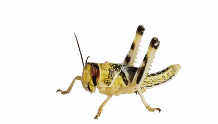 Locusts can devastate crops, causing nightmares for farmers.