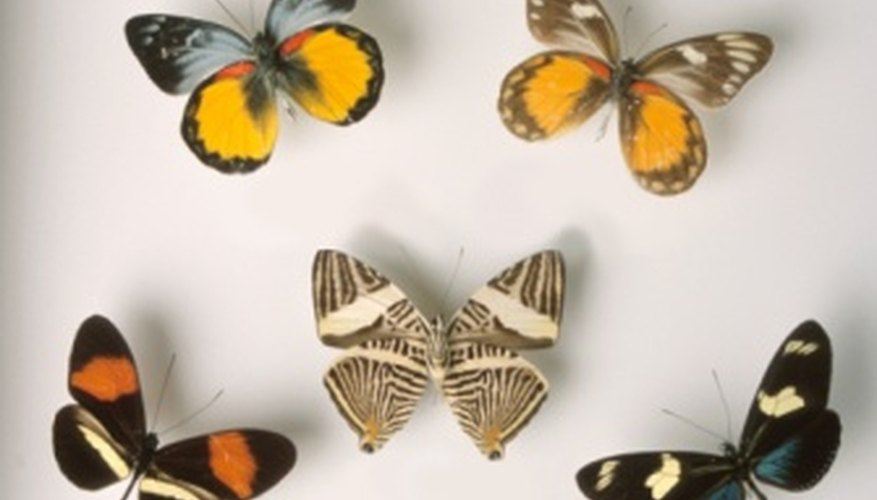 Create a butterfly collection.